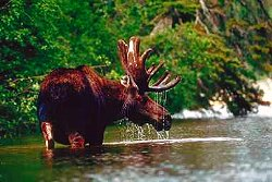 Denali National Park, alaska, wildlife, moose