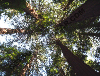 Muir Woods national monument redwood trees sausalito california